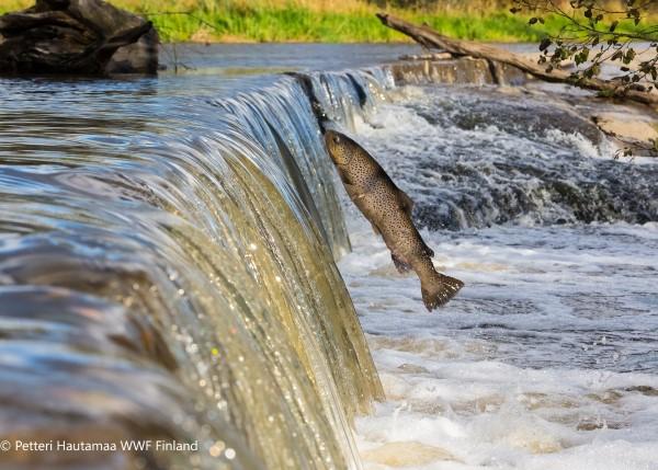 Ryba wyskakująca z wody